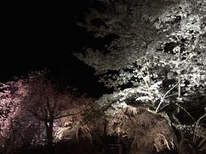 1夜桜.jpg